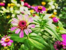 Ανοικτό ροζ λουλούδι της Zinnia στον κήπο όμορφο ροζ λουλουδιών Στοκ φωτογραφία με δικαίωμα ελεύθερης χρήσης