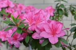 Ανοικτό ροζ λουλούδια αζαλεών Στοκ φωτογραφία με δικαίωμα ελεύθερης χρήσης