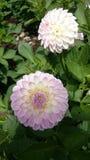 Ανοικτό ροζ λουλούδια Στοκ Εικόνες