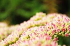 Ανοικτό ροζ λουλούδια Στοκ Φωτογραφία