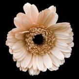 Ανοικτό ροζ λουλούδι gerbera, απομονωμένο ο Μαύρος υπόβαθρο με το ψαλίδισμα της πορείας closeup Καμία σκιά Για το σχέδιο Στοκ Εικόνα