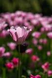 ανοικτό ροζ τουλίπες Στοκ Εικόνες