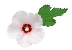 Ανοικτό ροζ hibiscus Στοκ Εικόνες