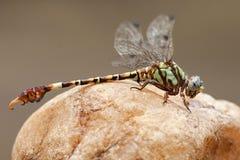 Ανοιχτήρι Hooktail, elpidius Paragomphus στοκ εικόνα με δικαίωμα ελεύθερης χρήσης