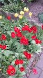 ανοιχτό κόκκινο λουλο&upsilo Στοκ φωτογραφία με δικαίωμα ελεύθερης χρήσης