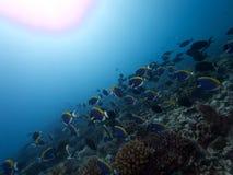 Ανοιχτό μπλε Surgeonfish Reefscape Στοκ φωτογραφία με δικαίωμα ελεύθερης χρήσης