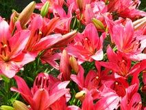 Ανοιχτό ροζ κρίνων Στοκ Εικόνες