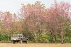 Ανοιχτό φορτηγό κάτω από το άγριο δέντρο κερασιών Himalayan σε Phu Lom Lo Ταϊλάνδη Στοκ φωτογραφία με δικαίωμα ελεύθερης χρήσης