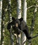 αντέξτε μαύρο cub Στοκ Φωτογραφίες