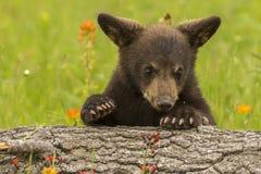 αντέξτε μαύρο cub στοκ φωτογραφία