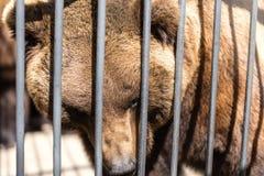 Αντέξτε πίσω από το φράκτη μετάλλων στο ζωολογικό κήπο Στοκ φωτογραφία με δικαίωμα ελεύθερης χρήσης