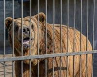 Αντέξτε πίσω από το φράκτη μετάλλων στο ζωολογικό κήπο Στοκ εικόνες με δικαίωμα ελεύθερης χρήσης