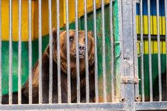 Αντέξτε στην αιχμαλωσία σε έναν ζωολογικό κήπο πίσω από τα κάγκελα Δύναμη και επιθετικότητα στο κλουβί Στοκ φωτογραφία με δικαίωμα ελεύθερης χρήσης