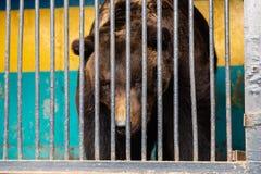 Αντέξτε στην αιχμαλωσία σε έναν ζωολογικό κήπο πίσω από τα κάγκελα Δύναμη και επιθετικότητα στο κλουβί Στοκ Εικόνες