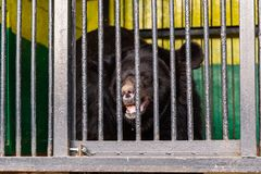 Αντέξτε στην αιχμαλωσία σε έναν ζωολογικό κήπο πίσω από τα κάγκελα Δύναμη και επιθετικότητα στο κλουβί Στοκ Φωτογραφία