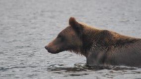 Αντέξτε στον Καναδά, στην περιπέτεια στη μεγάλη αρκούδα κατοικήστε στοκ φωτογραφίες