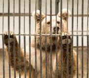 Αντέξτε στο κλουβί ζωολογικών κήπων Στοκ εικόνες με δικαίωμα ελεύθερης χρήσης