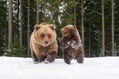 Αντέξτε στο χειμερινό δάσος στοκ εικόνα