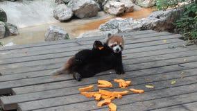 Αντέξτε τη γάτα (κόκκινο panda) Στοκ Εικόνες