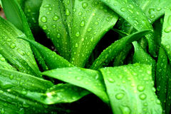 αντέξτε τις σταγόνες βροχής s σκόρδου στοκ φωτογραφία