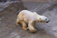 αντέξτε το βλέμμα πολικό Ζωολογικός κήπος του Hokkaido Στοκ εικόνα με δικαίωμα ελεύθερης χρήσης