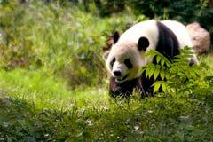 αντέξτε το γιγαντιαίο panda Στοκ φωτογραφία με δικαίωμα ελεύθερης χρήσης