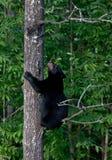 αντέξτε το μαύρο cub αναρρίχησ&e Στοκ Εικόνες