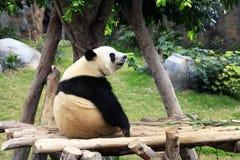 αντέξτε το μεγάλο panda Στοκ Φωτογραφία