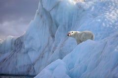 αντέξτε το παγόβουνο πολικό στοκ εικόνες