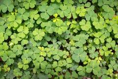 Αντέξτε το φύλλο τριφυλλιού πράσινο Στοκ εικόνες με δικαίωμα ελεύθερης χρήσης