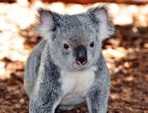 αντέξτε το koala στοκ εικόνα με δικαίωμα ελεύθερης χρήσης