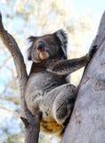 αντέξτε το koala Στοκ εικόνες με δικαίωμα ελεύθερης χρήσης