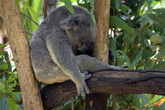 αντέξτε το koala Στοκ Εικόνα
