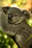 αντέξτε το koala Στοκ φωτογραφία με δικαίωμα ελεύθερης χρήσης