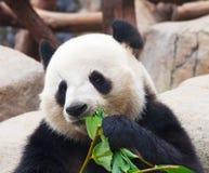 αντέξτε το panda Στοκ Εικόνες