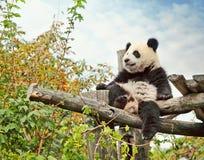 αντέξτε το panda στοκ φωτογραφίες με δικαίωμα ελεύθερης χρήσης