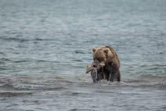 Αντέξτε ψάχνει τα ψάρια στο νερό Στοκ Φωτογραφίες