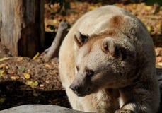 αντέξτε όντας Βερολίνο καφετί έχει καλυμμένο το φωτογραφία ζωολογικό κήπο Στοκ Φωτογραφίες