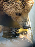 αντέξτε όντας Βερολίνο καφετί έχει καλυμμένο το φωτογραφία ζωολογικό κήπο στοκ φωτογραφία με δικαίωμα ελεύθερης χρήσης