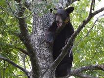 Αντέξτε Cub που φωνάζει σε ένα δέντρο Στοκ Φωτογραφία