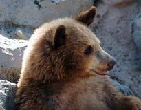 αντέξτε cub σταχτύ Στοκ Εικόνα