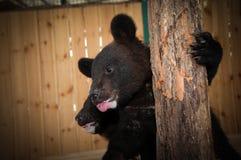 Αντέξτε cub στο κλουβί του ζωολογικού κήπου Στοκ Εικόνα