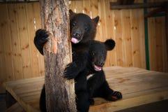 Αντέξτε cub στο κλουβί του ζωολογικού κήπου Στοκ Φωτογραφία