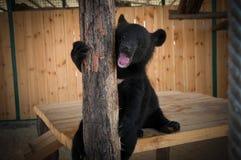Αντέξτε cub στο κλουβί του ζωολογικού κήπου Στοκ Εικόνες
