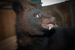 Αντέξτε cub στο κλουβί του ζωολογικού κήπου Στοκ εικόνες με δικαίωμα ελεύθερης χρήσης