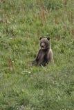 αντέξτε cub τη συνεδρίαση Στοκ φωτογραφία με δικαίωμα ελεύθερης χρήσης