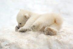 αντέξτε cub το μικρό λευκό Στοκ Εικόνα