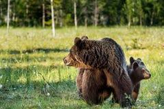 Αντέξτε cubs τη δορά για μια αυτή-αρκούδα Στοκ φωτογραφία με δικαίωμα ελεύθερης χρήσης