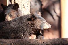 Αντέξτε cubs Στοκ Φωτογραφία