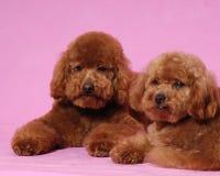 αντέξτε poodle το teddy παιχνίδι Στοκ Φωτογραφία